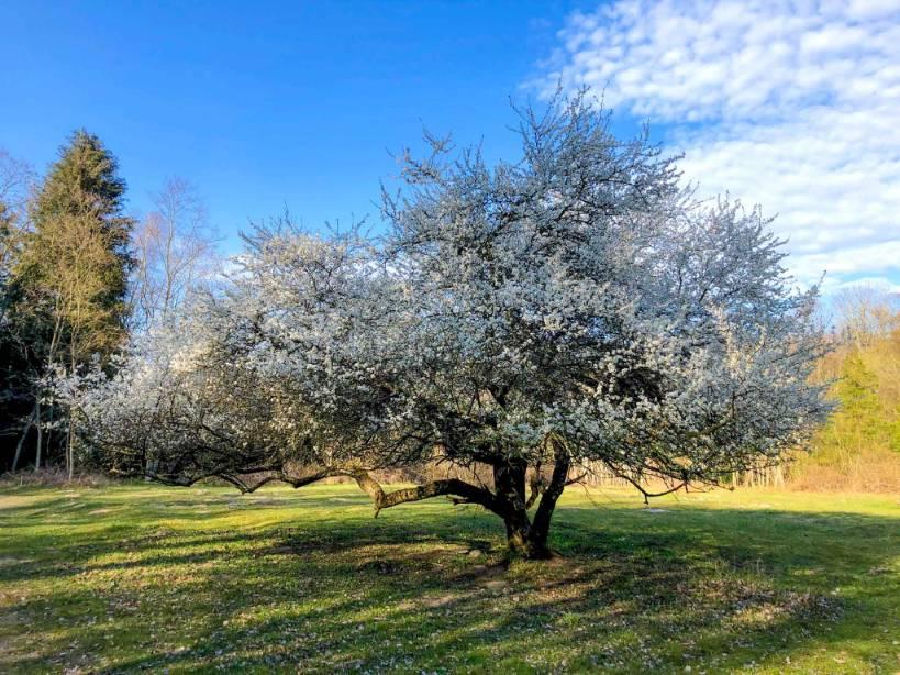 drzewo z białymi kwiatami