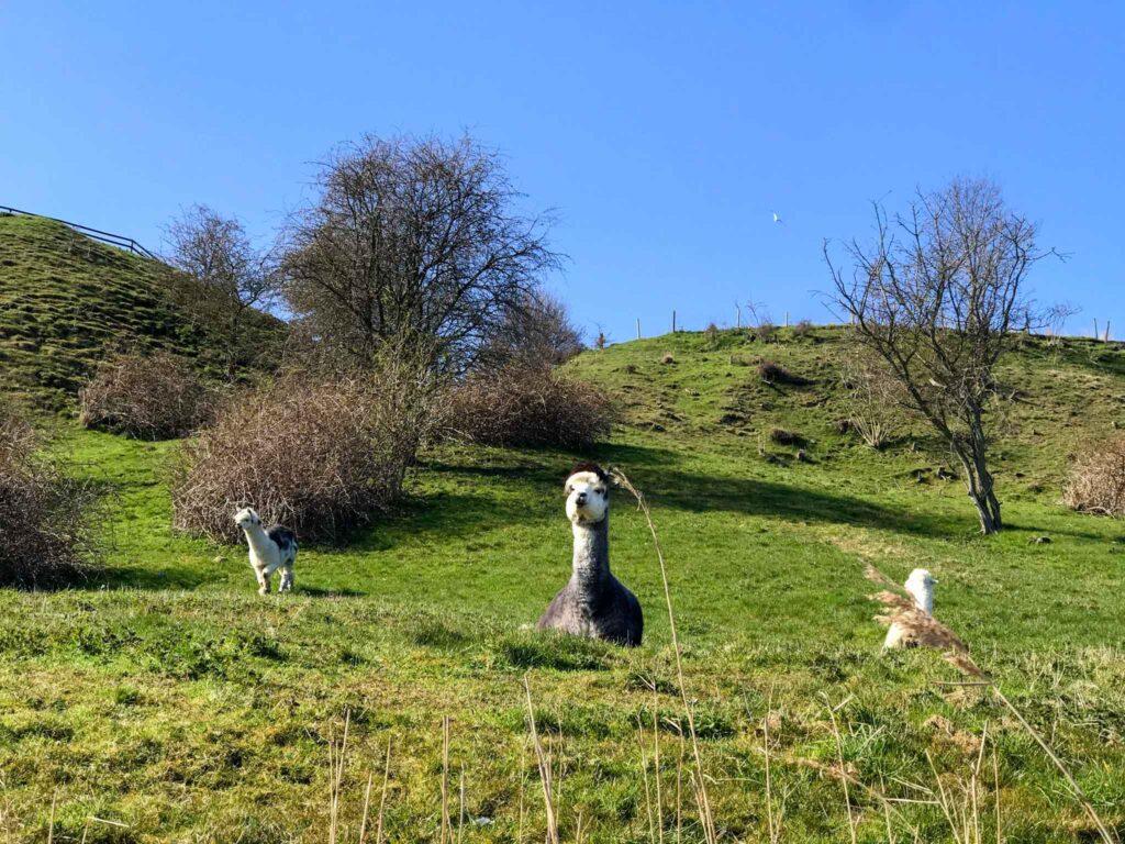 Alpaki na wyspie Ven